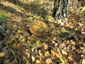 Большой белый гриб