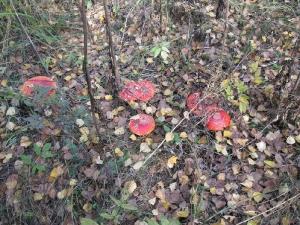 Семья мухоморов в осеннем лесу — чудо, которым можно любоваться очень долго!