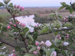 Весна. Цветущая яблоня
