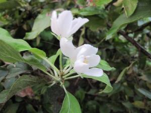 Чудо на праздник Успения Пресвятой Богородицы расцвела яблонька у монастырских стен